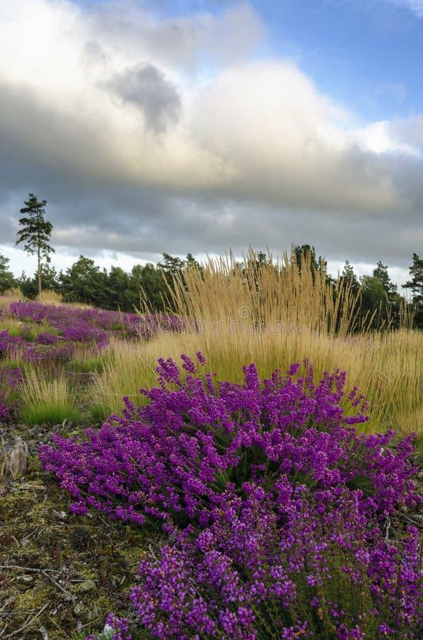 Dzwonkowy wrzos i trawy zdjęcie royalty free