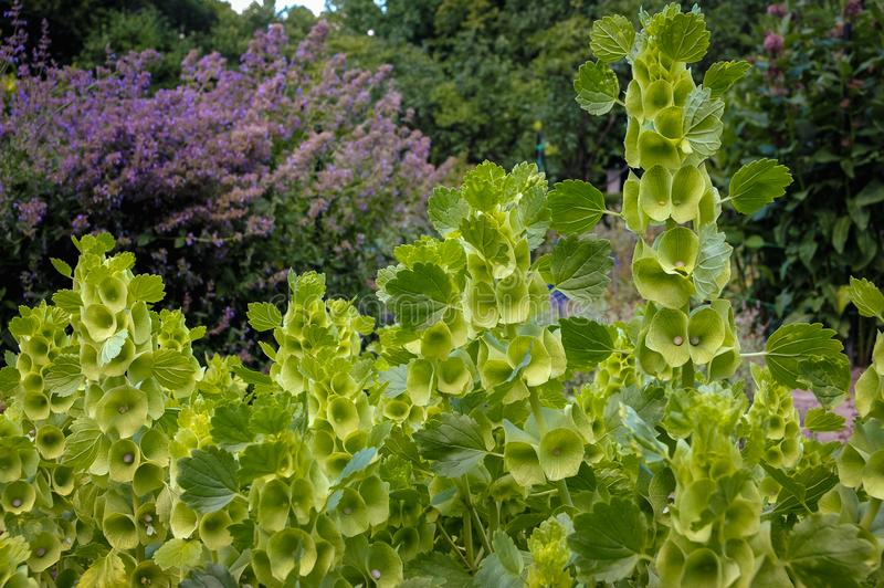 Dzwony Irlandia roślina zdjęcie royalty free