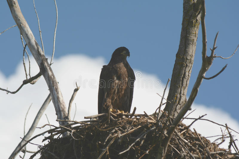 Débutant Eagle Sitting Upon Nest photographie stock