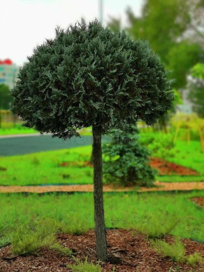 Eén boomsoort boxwood op het gras stock illustratie