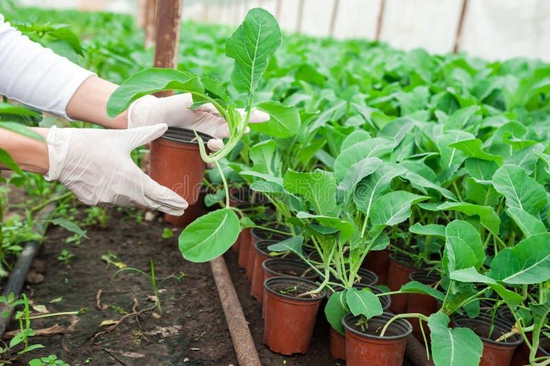 Żeńscy ogrodniczki mienia garnki w szklarni zdjęcia royalty free