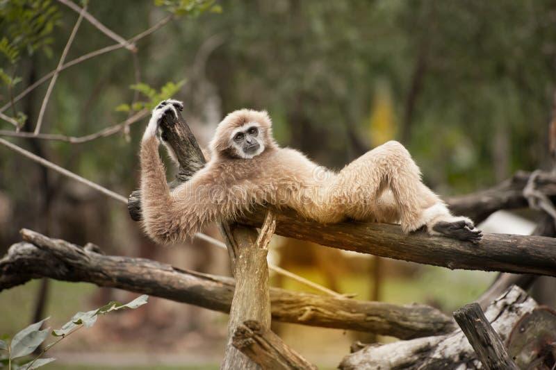 Żeńscy Północni biali Gibbon, Nomascus leucogenys - obraz stock