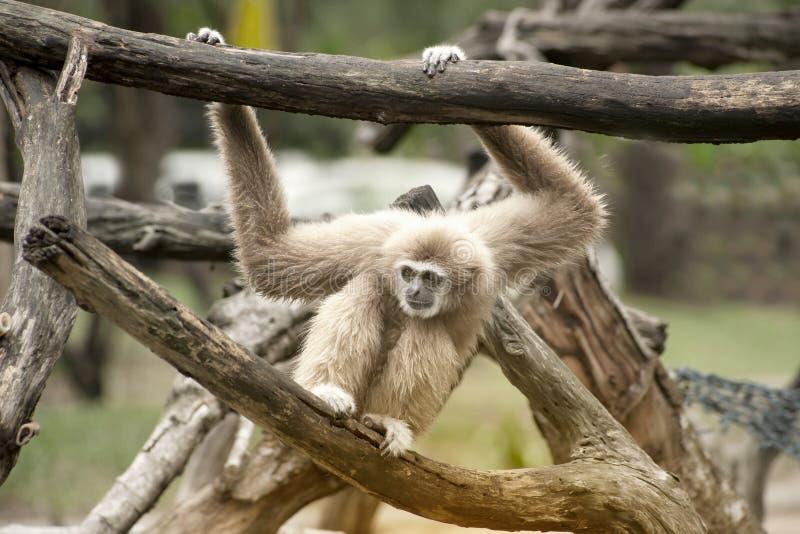 Żeńscy Północni biali Gibbon, Nomascus leucogenys - obraz royalty free