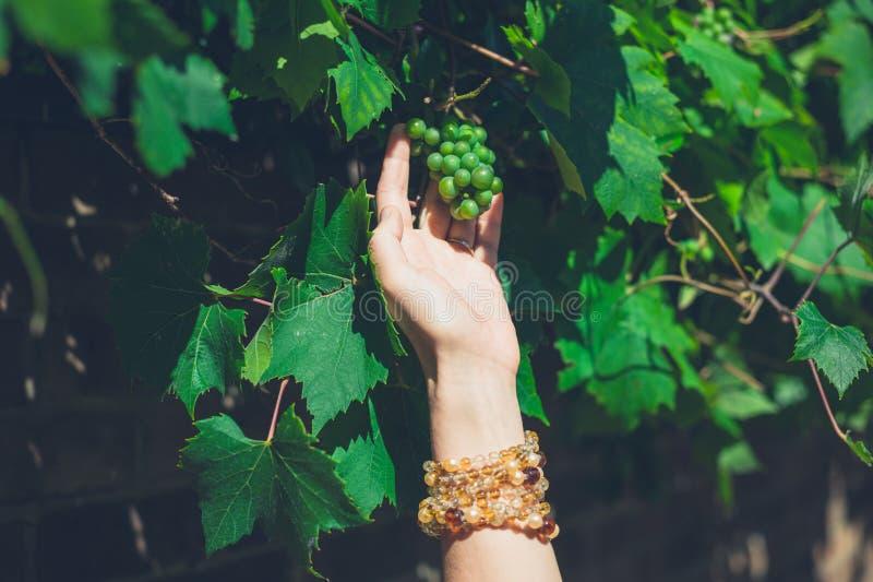 Żeńscy ręki zrywania winogrona zdjęcia stock