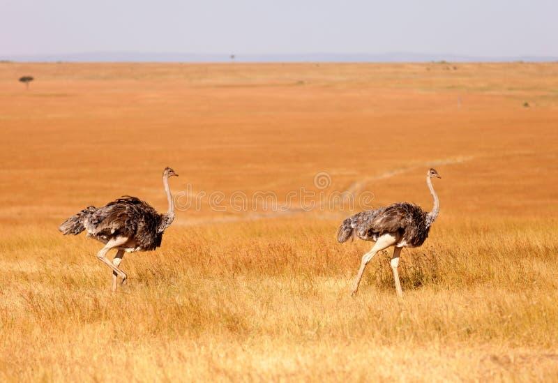 Żeńscy strusie, Amboseli park, Kenja fotografia royalty free