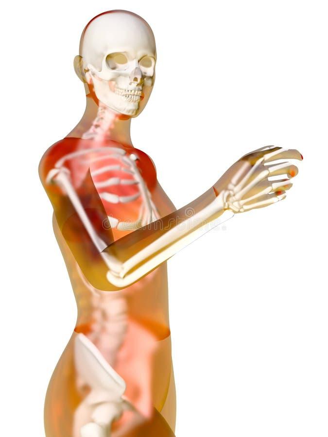 Żeńska anatomia ilustracja wektor
