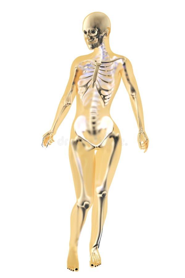 Żeńska anatomia ilustracji