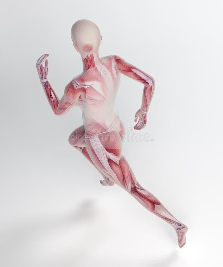 Żeńska biegacz anatomia ilustracji