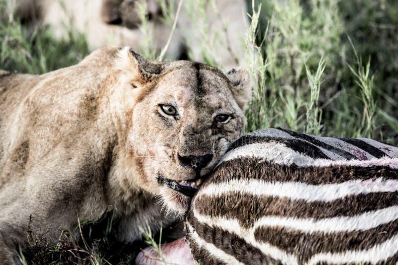 Żeńska lwa łasowania zebra w Serengeti parku narodowym zdjęcie royalty free