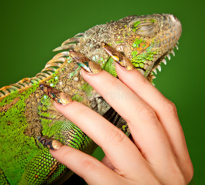 Żeńska ręka z pięknym manicure'em dotyka iguany fotografia stock
