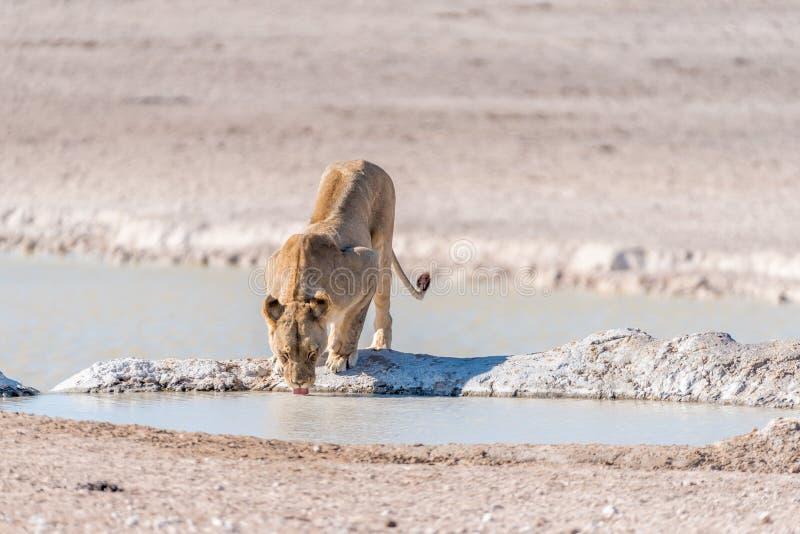 Żeński Afrykański lew, Panthera Leo, woda pitna przy waterhole obraz royalty free