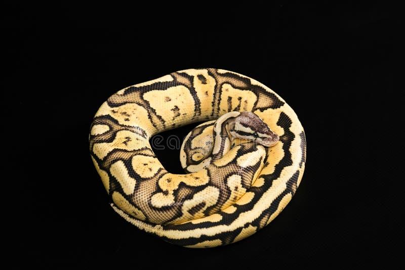 Żeński Balowy pyton Świetlik Przekształcać się lub mutacja zdjęcia stock