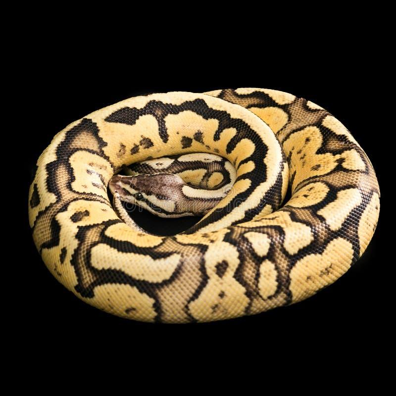Żeński Balowy pyton Świetlik Przekształcać się lub mutacja obraz stock