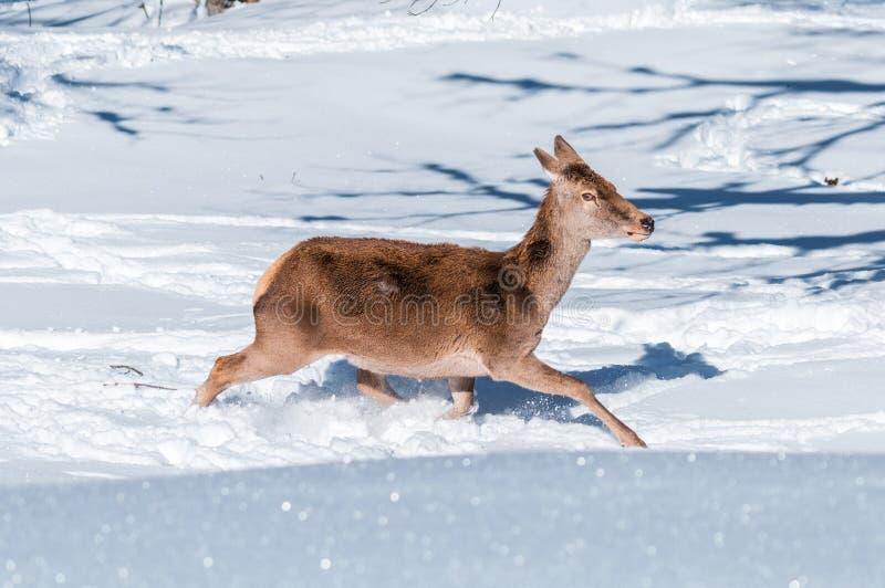 Żeński czerwonego rogacza bieg w głębokim śniegu zdjęcia royalty free