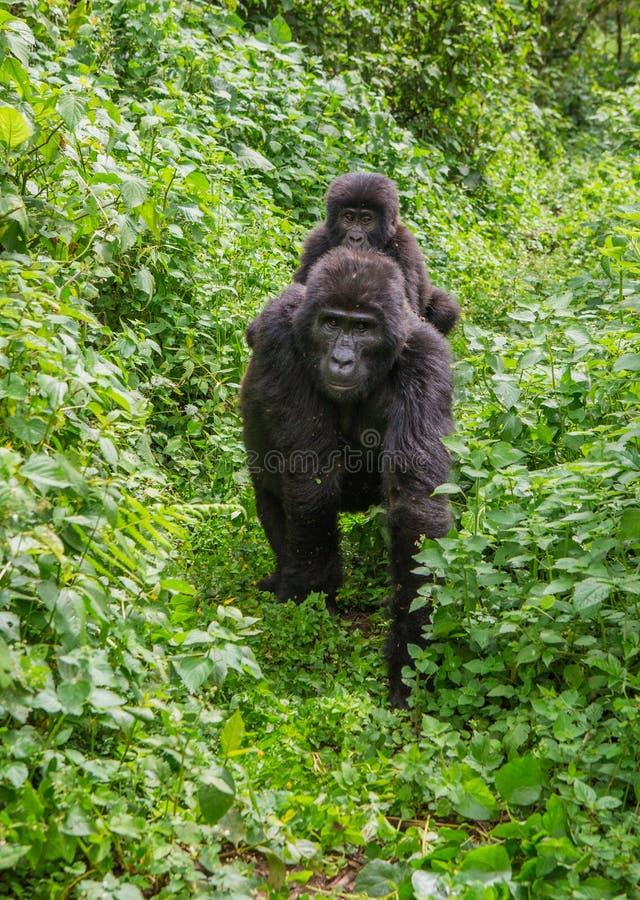 Żeński halny goryl z dzieckiem Uganda Bwindi Nieprzebity Lasowy park narodowy zdjęcia royalty free