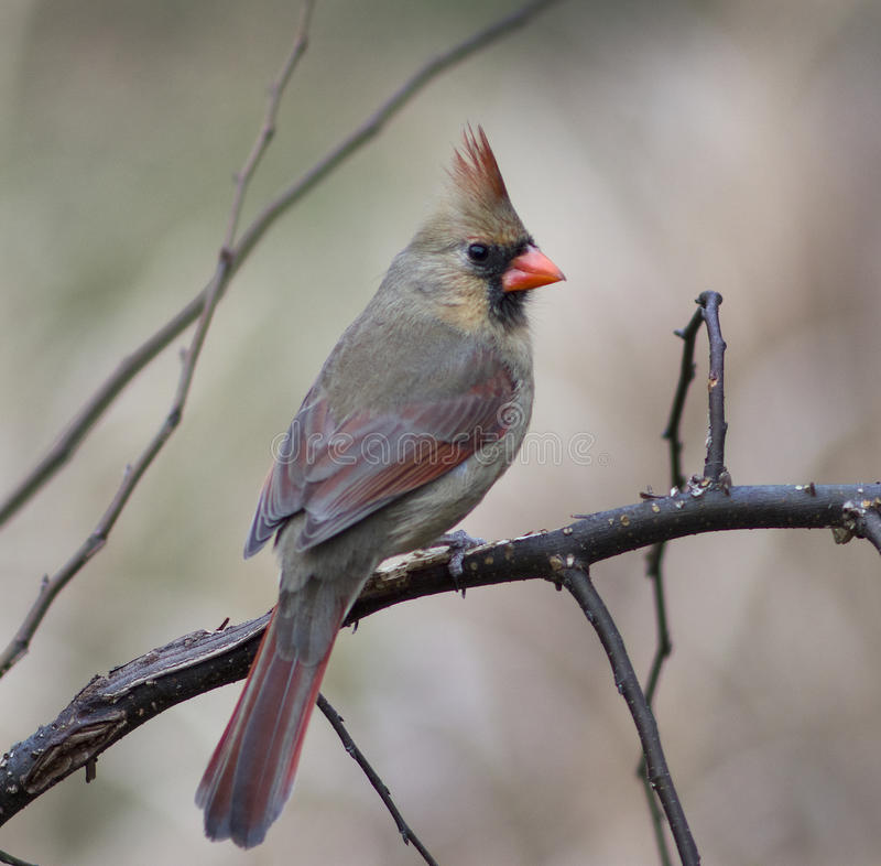 Żeński kardynał (Richmondena cardinalis) obrazy stock