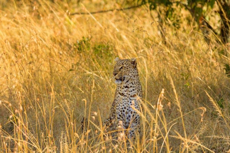 Żeński lampart w Masai Mara obrazy royalty free