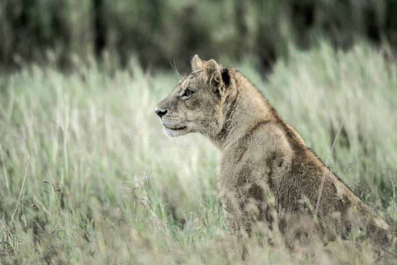 Żeński lew baczny w trawie w Serengeti obrazy royalty free