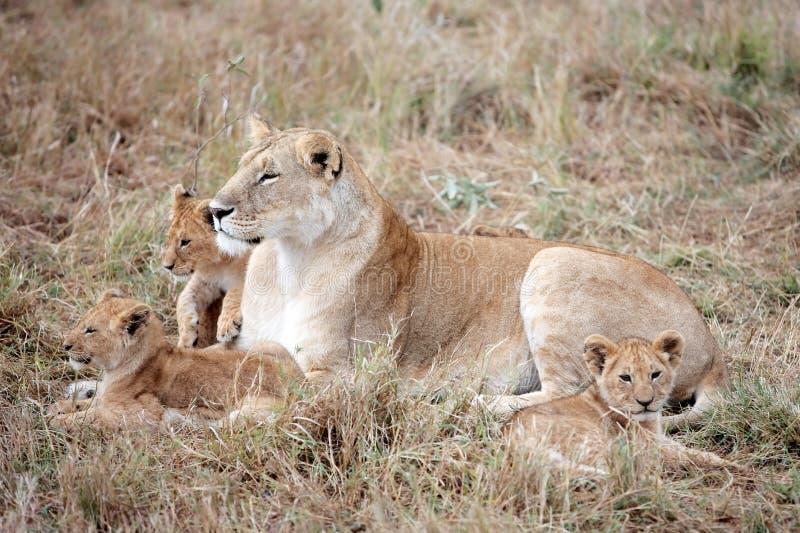 Żeński lew i lisiątka w Masai Mara Kenja obrazy stock