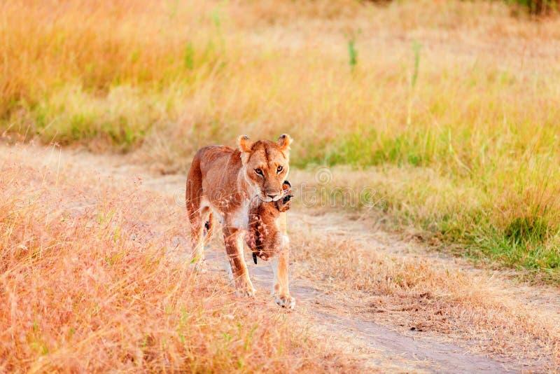 Żeński lew niesie filiżankę, Masai Mara fotografia royalty free