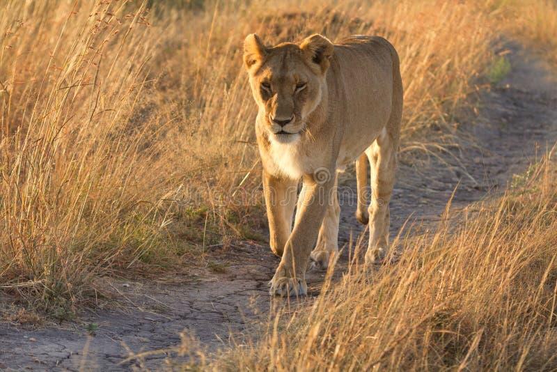 Żeński lew w Masai Mara zdjęcie royalty free