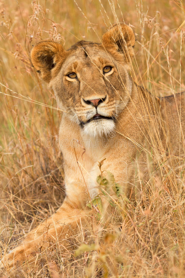 Żeński lew w Masai Mara zdjęcia stock