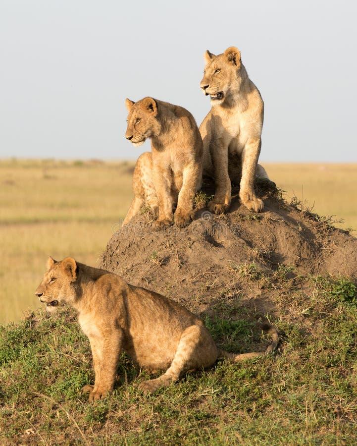 Żeński lew Z Cubs zdjęcie royalty free