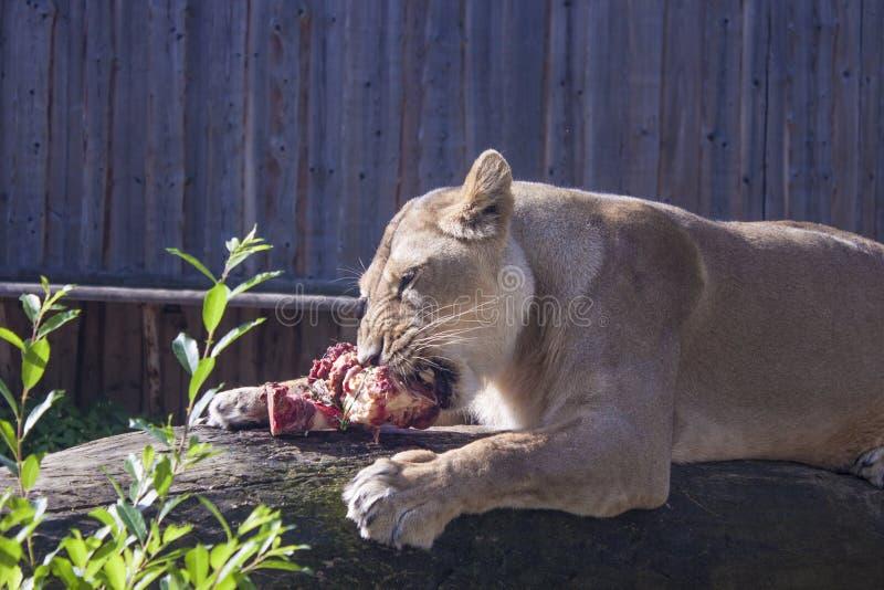 Żeński lwa łasowanie zdjęcia stock
