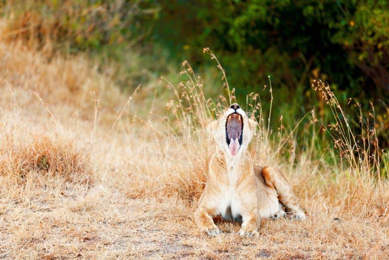 Żeński lwa ziewanie, Masai Mara zdjęcia stock