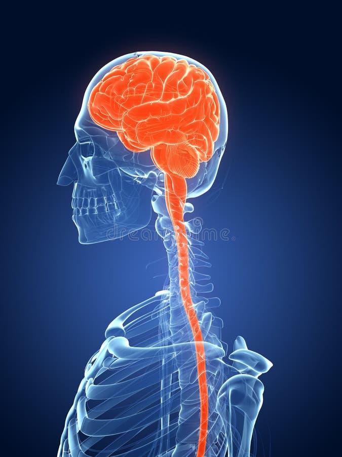 Żeński mózg royalty ilustracja