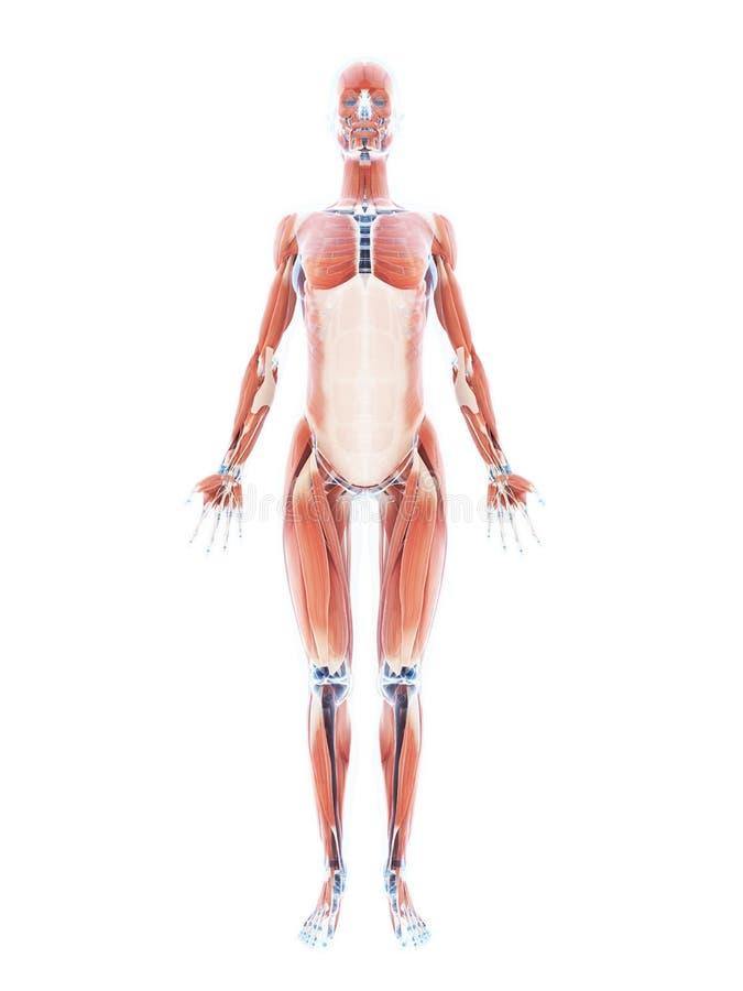 Żeński mięśnia system royalty ilustracja