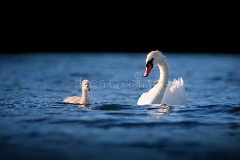 Żeński Niemy łabędź z łabędziątkiem na błękitne wody zdjęcia stock
