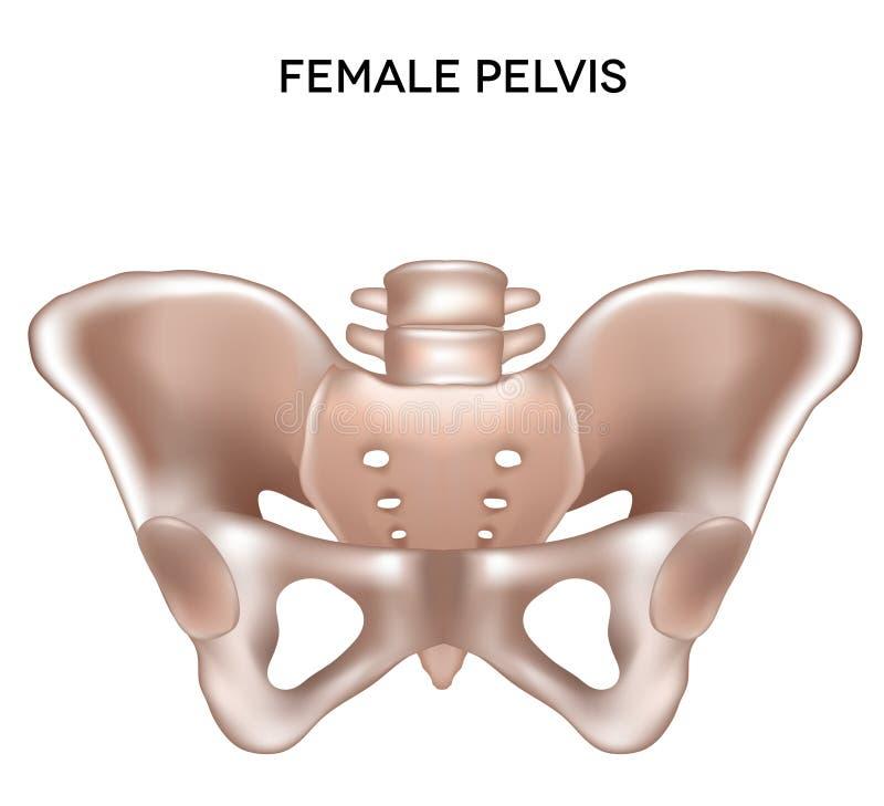 Żeński pelvis ilustracji