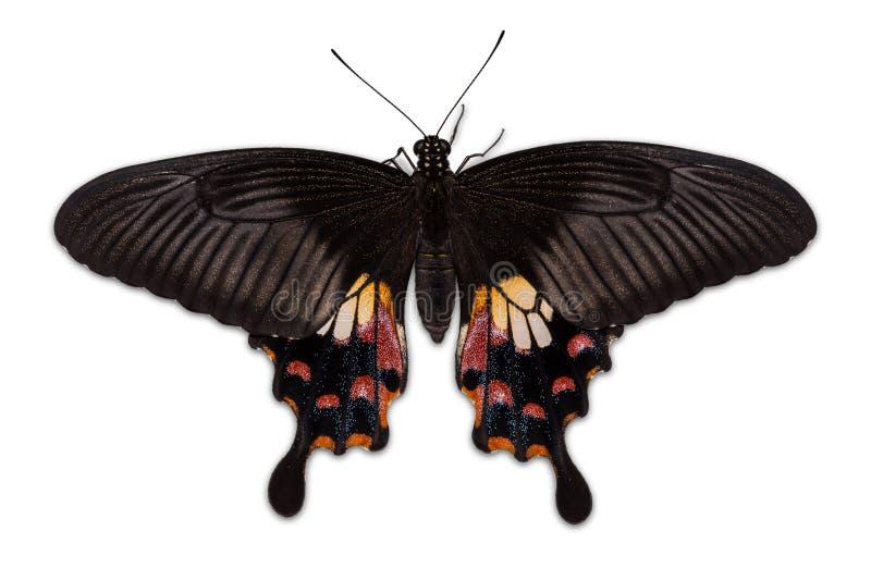 Żeński Pospolity mormonu motyl (Papilio polytes romulus) zdjęcie royalty free