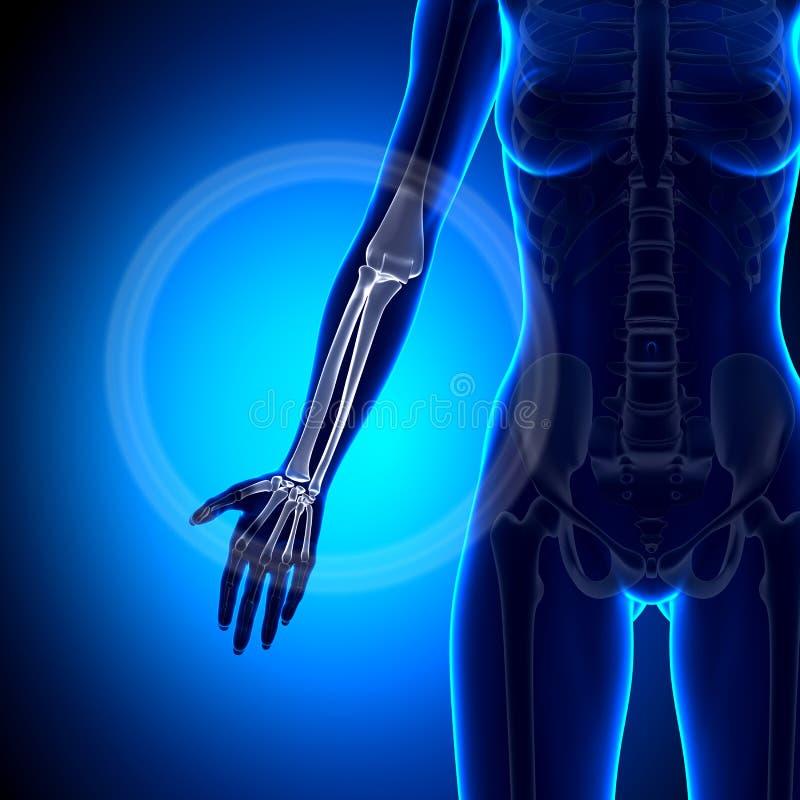 Żeński promieniomierz/Ulna anatomii kości - przedramię - ilustracja wektor