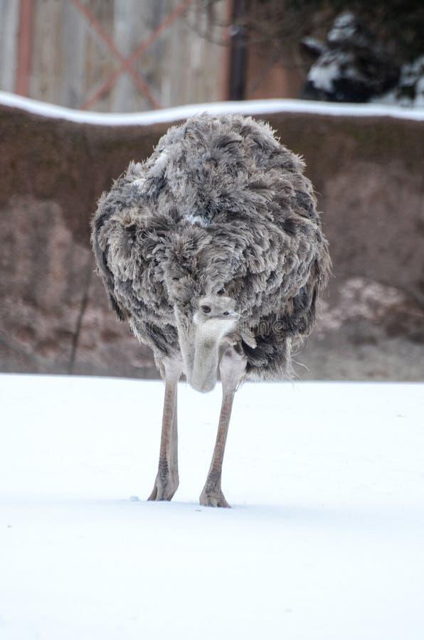 Struś w śniegu zdjęcia stock