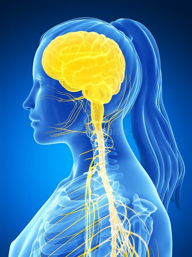 Żeński układ nerwowy ilustracja wektor