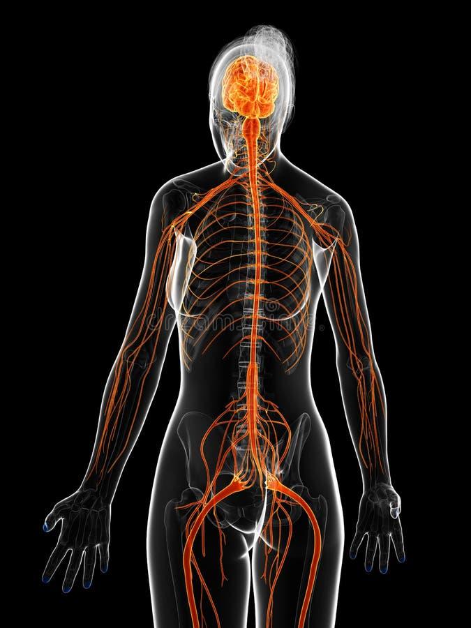 Żeński układ nerwowy royalty ilustracja