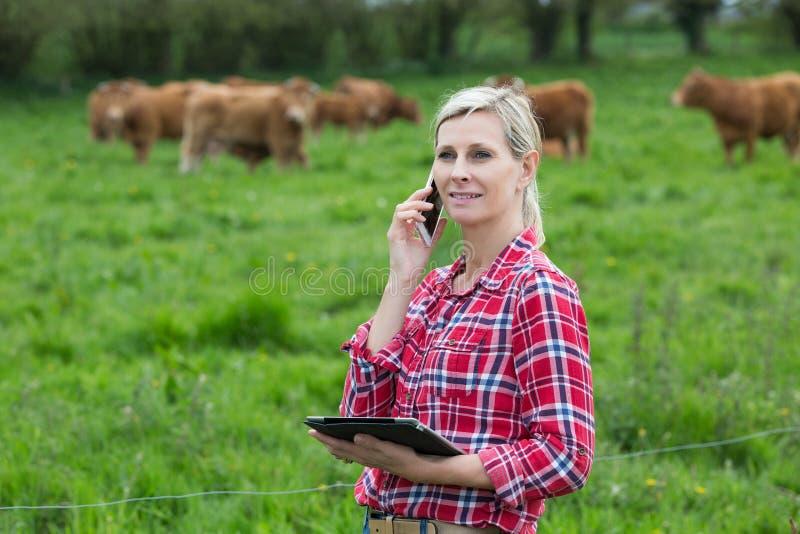 Żeńskie średniorolne dyrekcyjne krowy z pastylką obraz stock