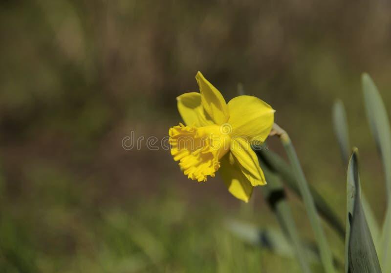 E Ένα κίτρινο λουλούδι των ναρκίσσων με τα πράσινα φύλλα στο α σε ένα κλίμα bokeh στοκ φωτογραφίες