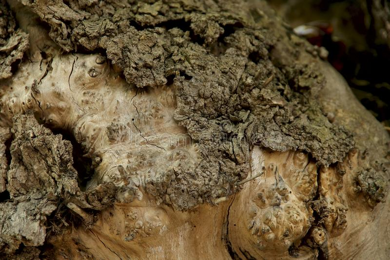 E Η σύσταση του κορμού ενός παλαιού δέντρου με τις ρωγμές και τις συνελίξεις στοκ εικόνες