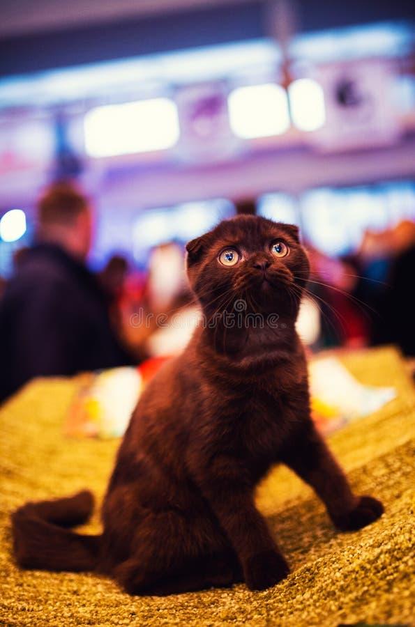 E Καφετιά γάτα Ζωικός κόσμος στοκ εικόνα