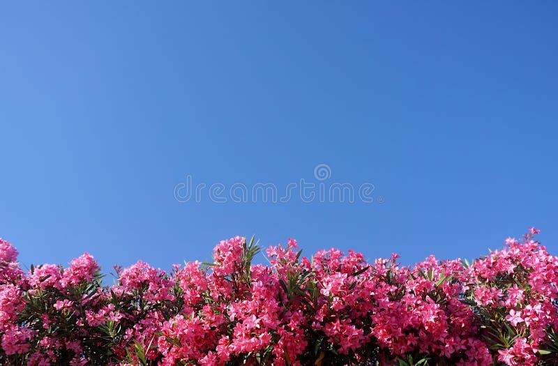 E Κορυφή των ρόδινων λουλουδιών oleander στο υπόβαθρο μπλε ουρανού στοκ εικόνα με δικαίωμα ελεύθερης χρήσης