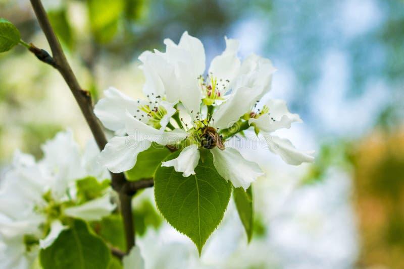 E Μια μέλισσα κάθεται σε ένα λουλούδι δέντρων μηλιάς Άνθιση άνοιξη στοκ φωτογραφίες με δικαίωμα ελεύθερης χρήσης