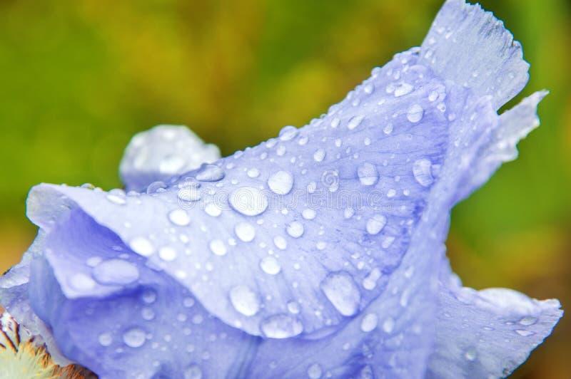 E Πέταλο της Iris που σκορπίζεται με τις πτώσεις της δροσιάς και της βροχής Υπόβαθρο Adstract στοκ φωτογραφία