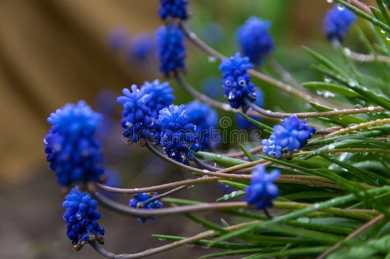 E Τα μπλε λουλούδια του muscari στη δροσιά, μετά από τη βροχή στοκ εικόνα
