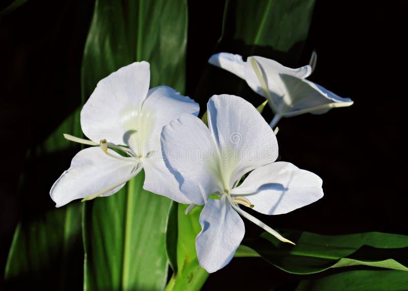 E Белая лилия гирлянды стоковые изображения rf