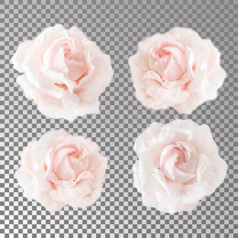 E Цветя открытые головы роз без листьев стоковая фотография rf