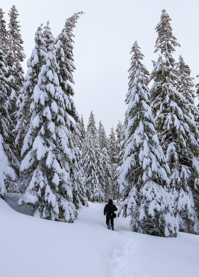 E Человек идет на снежную лужайку к загадочным туманным соснам леса стоит в снеге подмел луг горы стоковые изображения rf