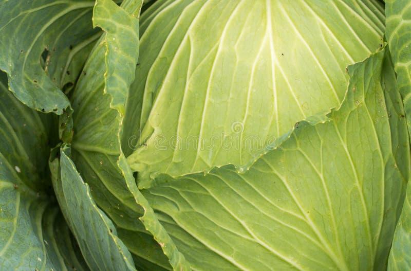 E 一棵绿色水多的圆白菜的顶视图 图库摄影